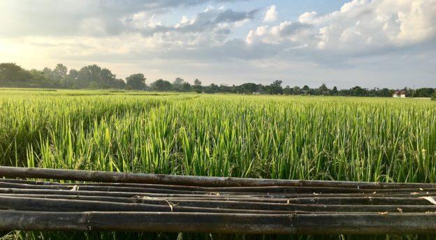 Riisipelto. Kuva: Thitirath Kinaret